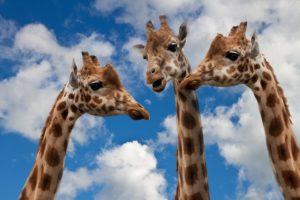 giraffe per marketing di relazione